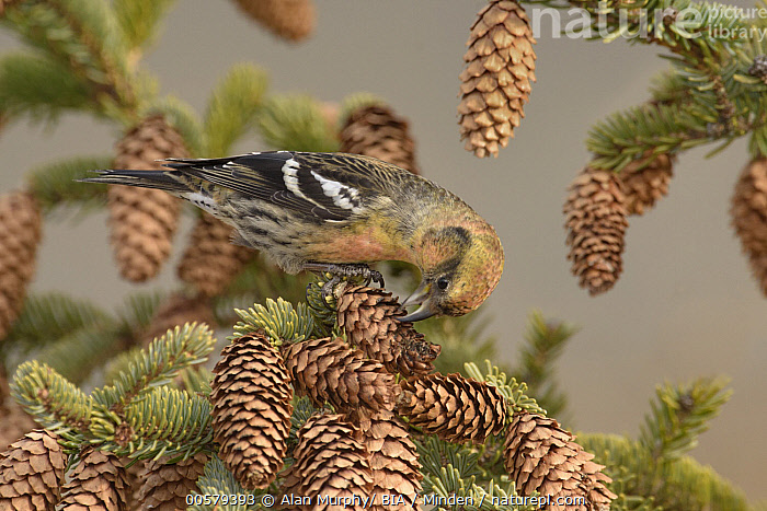 White-winged Crossbill (Loxia leucoptera) female feeding on spruce cone seeds, Alaska, Adult, Alaska, Color Image, Day, Feeding, Female, Full Length, Horizontal, Loxia leucoptera, Nobody, One Animal, Outdoors, Photography, Pine Cone, Seed, Side View, Songbird, Spruce, White-winged Crossbill, Wildlife,White-winged Crossbill,Alaska, USA, Alan Murphy/ BIA
