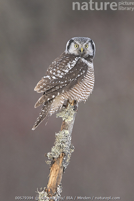 Northern Hawk Owl (Surnia ulula), Minnesota  ,  Adult, Color Image, Day, Full Length, Looking at Camera, Minnesota, Nobody, Northern Hawk Owl, One Animal, Outdoors, Photography, Raptor, Side View, Surnia ulula, Vertical, Wildlife,Northern Hawk Owl,Minnesota, USA  ,  Alan Murphy/ BIA