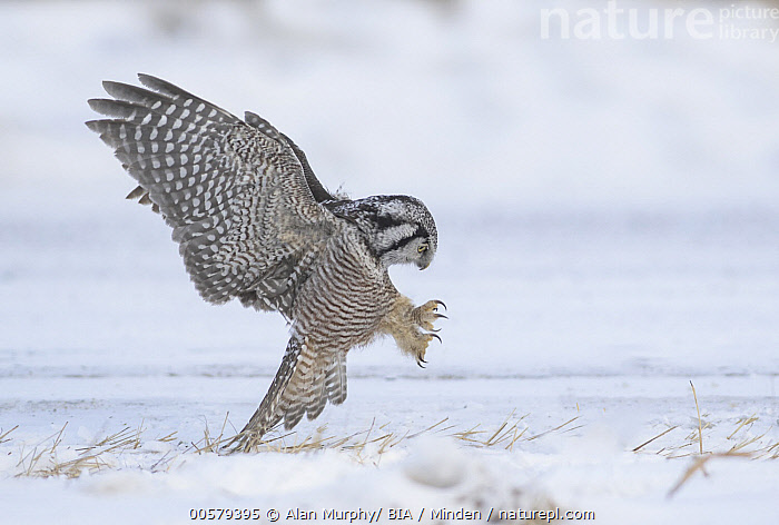 Northern Hawk Owl (Surnia ulula) hunting, Minnesota  ,  Adult, Color Image, Day, Flying, Full Length, Horizontal, Hunting, Landing, Minnesota, Nobody, Northern Hawk Owl, One Animal, Outdoors, Photography, Raptor, Side View, Snow, Striking, Surnia ulula, Wildlife, Winter,Northern Hawk Owl,Minnesota, USA  ,  Alan Murphy/ BIA