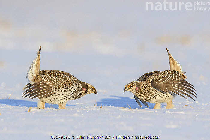 Sharp-tailed Grouse (Tympanuchus phasianellus) males displaying at lek in snow, Minnesota  ,  Adult, Color Image, Competition, Day, Displaying, Facing, Full Length, Gamebird, Horizontal, Lek, Male, Minnesota, Nobody, Outdoors, Photography, Sharp-tailed Grouse, Side View, Snow, Two Animals, Tympanuchus phasianellus, Wildlife,Sharp-tailed Grouse,Minnesota, USA  ,  Alan Murphy/ BIA