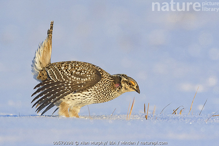 Sharp-tailed Grouse (Tympanuchus phasianellus) male displaying at lek in snow, Minnesota  ,  Adult, Color Image, Courting, Day, Displaying, Full Length, Gamebird, Horizontal, Lek, Male, Minnesota, Nobody, One Animal, Outdoors, Photography, Sharp-tailed Grouse, Side View, Snow, Tympanuchus phasianellus, Wildlife,Sharp-tailed Grouse,Minnesota, USA  ,  Alan Murphy/ BIA