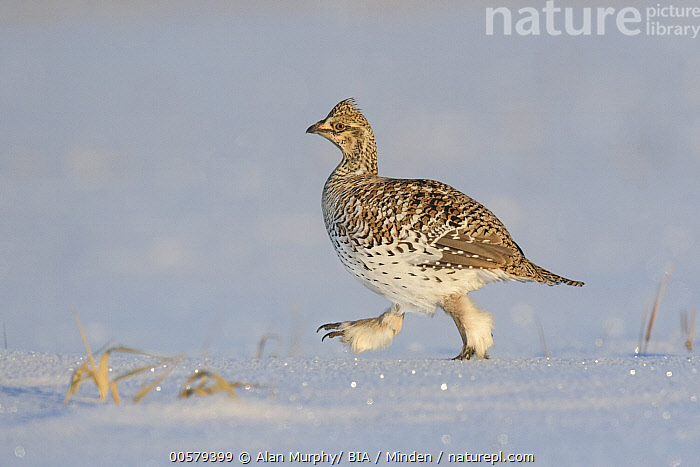 Sharp-tailed Grouse (Tympanuchus phasianellus) in snow, Minnesota, Adult, Color Image, Day, Full Length, Gamebird, Horizontal, Minnesota, Nobody, One Animal, Outdoors, Photography, Sharp-tailed Grouse, Side View, Snow, Tympanuchus phasianellus, Walking, Wildlife,Sharp-tailed Grouse,Minnesota, USA, Alan Murphy/ BIA