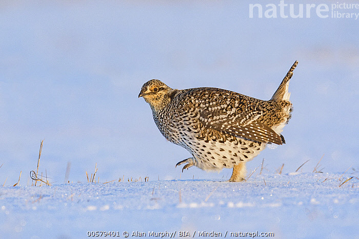 Sharp-tailed Grouse (Tympanuchus phasianellus) in snow, Minnesota  ,  Adult, Color Image, Day, Full Length, Gamebird, Horizontal, Minnesota, Nobody, One Animal, Outdoors, Photography, Sharp-tailed Grouse, Side View, Snow, Tympanuchus phasianellus, Wildlife,Sharp-tailed Grouse,Minnesota, USA  ,  Alan Murphy/ BIA