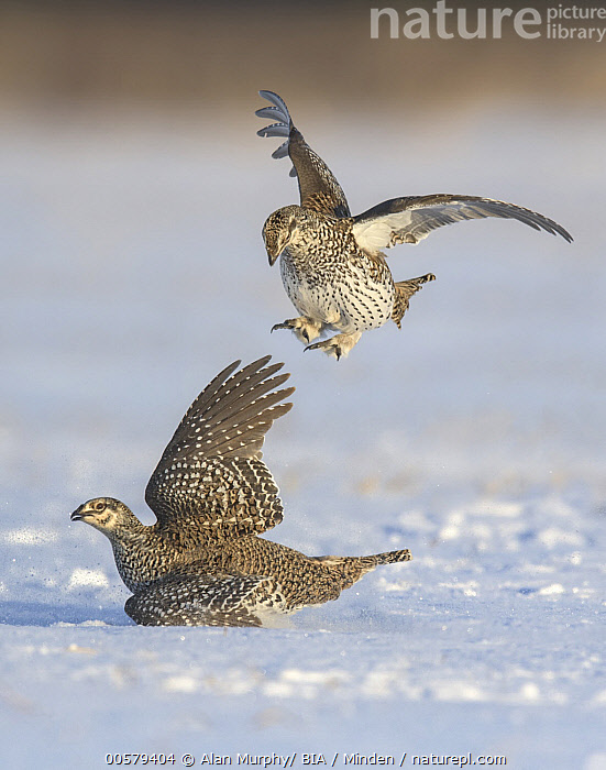 Sharp-tailed Grouse (Tympanuchus phasianellus) males fighting at lek in snow, Minnesota, Adult, Color Image, Competition, Day, Fighting, Flying, Full Length, Gamebird, Lek, Male, Minnesota, Nobody, Outdoors, Photography, Sharp-tailed Grouse, Side View, Snow, Two Animals, Tympanuchus phasianellus, Vertical, Wildlife,Sharp-tailed Grouse,Minnesota, USA, Alan Murphy/ BIA