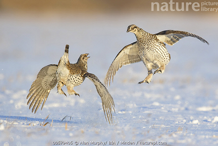 Sharp-tailed Grouse (Tympanuchus phasianellus) males fighting at lek in snow, Minnesota  ,  Adult, Color Image, Competition, Day, Fighting, Flying, Full Length, Gamebird, Horizontal, Lek, Male, Minnesota, Nobody, Outdoors, Photography, Rear View, Sharp-tailed Grouse, Side View, Snow, Two Animals, Tympanuchus phasianellus, Wildlife,Sharp-tailed Grouse,Minnesota, USA  ,  Alan Murphy/ BIA