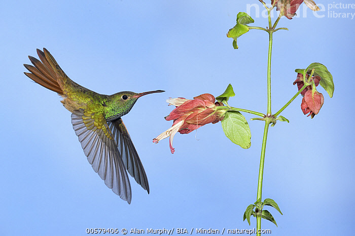 Buff-bellied Hummingbird (Amazilia yucatanensis) feeding on flower nectar, Texas, Adult, Amazilia yucatanensis, Buff-bellied Hummingbird, Color Image, Day, Feeding, Flower, Flying, Full Length, High Speed, Horizontal, Hovering, Hummingbird, Nectar, Nobody, One Animal, Outdoors, Photography, Side View, Texas, Wildlife,Buff-bellied Hummingbird,Texas, USA, Alan Murphy/ BIA