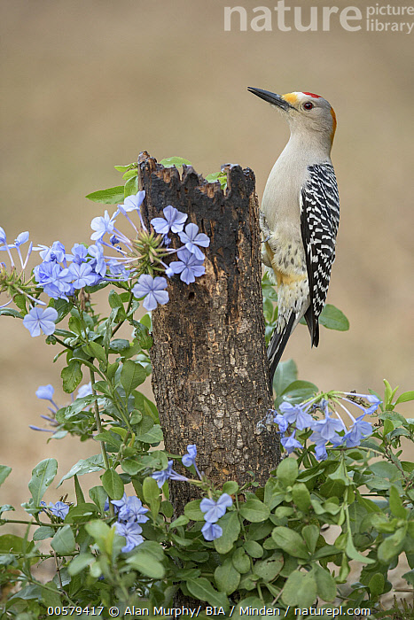 Golden-fronted Woodpecker (Melanerpes aurifrons) male, Texas  ,  Adult, Color Image, Day, Full Length, Golden-fronted Woodpecker, Male, Melanerpes aurifrons, Nobody, One Animal, Outdoors, Photography, Side View, Texas, Vertical, Wildlife,Golden-fronted Woodpecker,Texas, USA  ,  Alan Murphy/ BIA