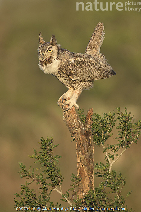 Great Horned Owl (Bubo virginianus) balancing on stump, Texas  ,  Adult, Balancing, Bubo virginianus, Color Image, Day, Full Length, Great Horned Owl, Nobody, One Animal, Outdoors, Photography, Raptor, Side View, Texas, Vertical, Wildlife,Great Horned Owl,Texas, USA  ,  Alan Murphy/ BIA
