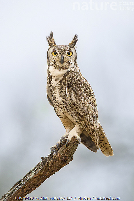 Great Horned Owl (Bubo virginianus), Texas  ,  Adult, Bubo virginianus, Color Image, Day, Full Length, Great Horned Owl, Looking at Camera, Nobody, One Animal, Outdoors, Photography, Raptor, Side View, Texas, Vertical, Wildlife,Great Horned Owl,Texas, USA  ,  Alan Murphy/ BIA