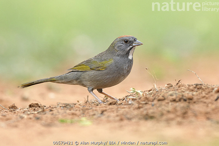 Green-tailed Towhee (Pipilo chlorurus), Texas  ,  Adult, Color Image, Day, Full Length, Green-tailed Towhee, Horizontal, Nobody, One Animal, Outdoors, Photography, Pipilo chlorurus, Side View, Songbird, Texas, Wildlife,Green-tailed Towhee,Texas, USA  ,  Alan Murphy/ BIA