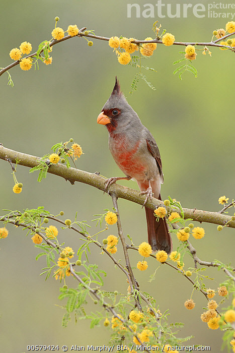 Pyrrhuloxia (Cardinalis sinuatus) male, Texas  ,  Adult, Cardinalis sinuatus, Color Image, Day, Full Length, Male, Nobody, One Animal, Outdoors, Photography, Pyrrhuloxia, Side View, Songbird, Texas, Vertical, Wildlife,Pyrrhuloxia,Texas, USA  ,  Alan Murphy/ BIA