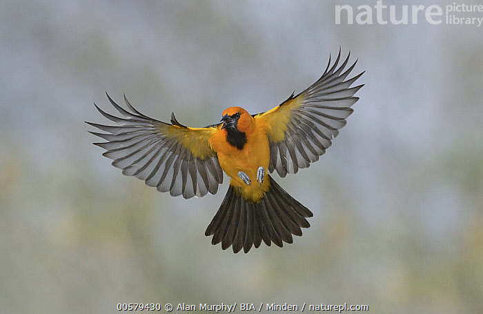 Altamira Oriole (Icterus gularis) flying, Texas  ,  Adult, Altamira Oriole, Approaching, Color Image, Day, Flying, Front View, Full Length, Horizontal, Icterus gularis, Nobody, One Animal, Outdoors, Photography, Songbird, Texas, Wildlife,Altamira Oriole,Texas, USA  ,  Alan Murphy/ BIA