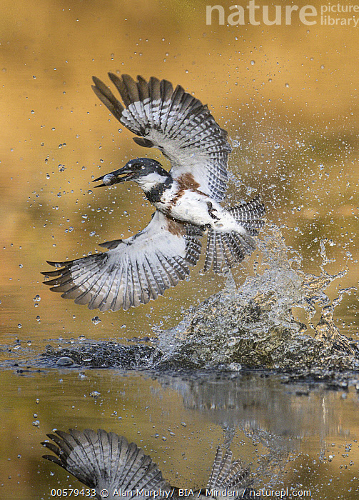 Belted Kingfisher (Megaceryle alcyon) female fishing, Texas  ,  Adult, Belted Kingfisher, Color Image, Day, Female, Fishing, Full Length, Hunting, Megaceryle alcyon, Nobody, One Animal, Outdoors, Photography, Predating, Predator, Prey, Reflection, Side View, Splashing, Texas, Vertical, Wildlife,Belted Kingfisher,Texas, USA  ,  Alan Murphy/ BIA