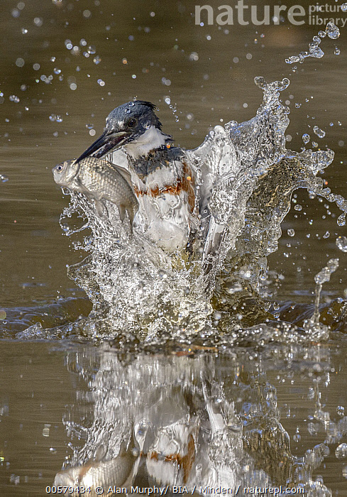Belted Kingfisher (Megaceryle alcyon) female fishing, Texas  ,  Adult, Belted Kingfisher, Color Image, Day, Female, Fishing, Front View, Full Length, Hunting, Megaceryle alcyon, Nobody, One Animal, Outdoors, Photography, Predating, Predator, Prey, Reflection, Splashing, Texas, Vertical, Wildlife,Belted Kingfisher,Texas, USA  ,  Alan Murphy/ BIA