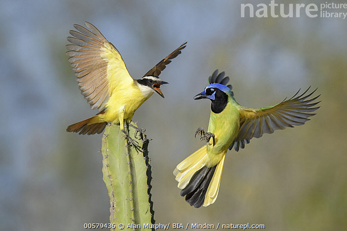 Great Kiskadee (Pitangus sulphuratus) and Green Jay (Cyanocorax yncas) fighting, Texas  ,  Adult, Calling, Color Image, Competition, Cyanocorax yncas, Day, Difference, Displaying, Facing, Fighting, Flying, Full Length, Green Jay, Great Kiskadee, Horizontal, Landing, Mixed, Nobody, Open Mouth, Outdoors, Photography, Pitangus sulphuratus, Side View, Songbird, Texas, Two Animals, Wildlife,Great Kiskadee,Green Jay,Cyanocorax yncas,Texas, USA  ,  Alan Murphy/ BIA