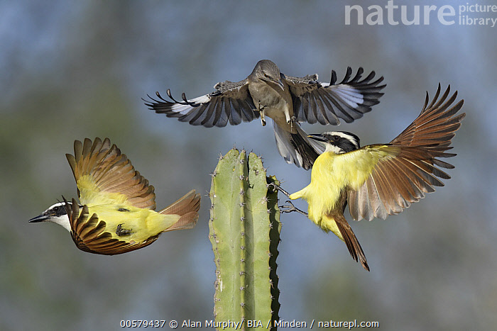 Great Kiskadee (Pitangus sulphuratus) pair and Northern Mockingbird (Mimus polyglottos) fighting, Texas  ,  Adult, Cactus, Color Image, Competition, Day, Difference, Fighting, Flying, Front View, Full Length, Great Kiskadee, Horizontal, Landing, Mimus polyglottos, Mixed, Nobody, Northern Mockingbird, Outdoors, Photography, Pitangus sulphuratus, Side View, Songbird, Taking Flight, Texas, Three Animals, Upside Down, Wildlife,Great Kiskadee,Northern Mockingbird,Mimus polyglottos,Texas, USA  ,  Alan Murphy/ BIA