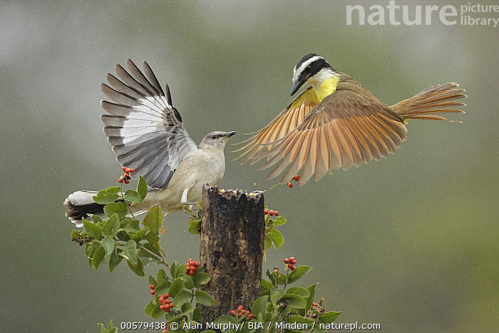 Great Kiskadee (Pitangus sulphuratus) and Northern Mockingbird (Mimus polyglottos) fighting, Texas, Adult, Color Image, Competition, Day, Difference, Facing, Fighting, Flying, Full Length, Great Kiskadee, Horizontal, Landing, Mimus polyglottos, Mixed, Nobody, Northern Mockingbird, Outdoors, Photography, Pitangus sulphuratus, Side View, Songbird, Texas, Two Animals, Wildlife,Great Kiskadee,Northern Mockingbird,Mimus polyglottos,Texas, USA, Alan Murphy/ BIA