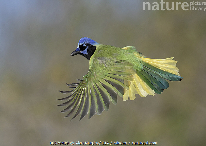 Green Jay (Cyanocorax yncas) flying, Texas, Adult, Color Image, Cyanocorax yncas, Day, Flying, Full Length, Green Jay, Horizontal, Nobody, One Animal, Outdoors, Photography, Side View, Songbird, Texas, Wildlife,Green Jay,Texas, USA, Alan Murphy/ BIA