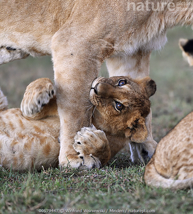 African Lion (Panthera leo) cub biting mother, Masai Mara, Kenya  ,  Adult, African Lion, Baby, Biting, Color Image, Cub, Day, Female, Kenya, Masai Mara, Mother, Nobody, Outdoors, Panthera leo, Parent, Photography, Playing, Side View, Threatened Species, Three Animals, Vertical, Vulnerable Species, Waist Up, Wildlife,African Lion,Kenya  ,  Winfried Wisniewski