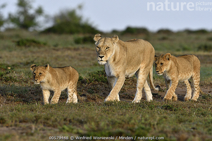African Lion (Panthera leo) mother with cubs, Masai Mara, Kenya  ,  Adult, African Lion, Baby, Color Image, Cub, Day, Female, Full Length, Horizontal, Kenya, Lioness, Masai Mara, Mother, Nobody, Outdoors, Panthera leo, Parent, Photography, Side View, Threatened Species, Three Animals, Vulnerable Species, Wildlife,African Lion,Kenya  ,  Winfried Wisniewski