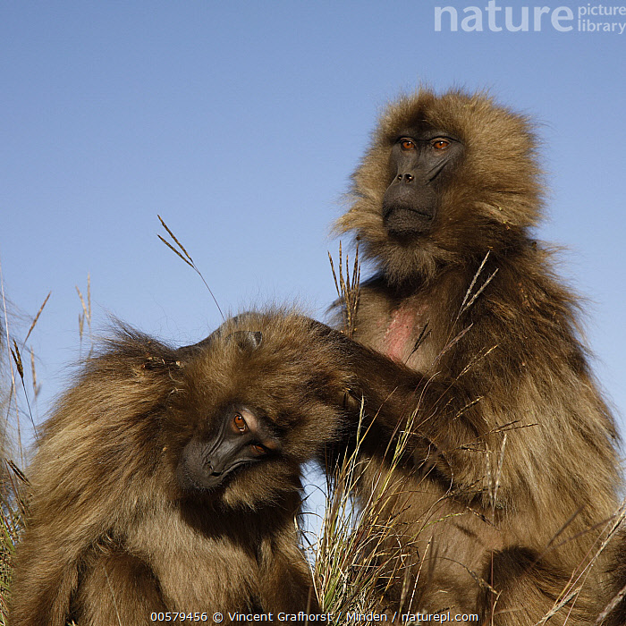 Gelada Baboon (Theropithecus gelada) females grooming, Simien Mountain National Park, Ethiopia, Adult, Bonding, Color Image, Day, Ethiopia, Female, Gelada Baboon, Grooming, Looking at Camera, Nobody, Outdoors, Photography, Side View, Simien Mountain National Park, Square, Theropithecus gelada, Two Animals, Waist Up, Wildlife,Gelada Baboon,Ethiopia, Vincent Grafhorst