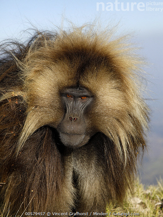Gelada Baboon (Theropithecus gelada) male, Simien Mountain National Park, Ethiopia  ,  Adult, Color Image, Day, Ethiopia, Front View, Gelada Baboon, Male, Nobody, One Animal, Outdoors, Photography, Portrait, Simien Mountain National Park, Theropithecus gelada, Vertical, Waist Up, Wildlife,Gelada Baboon,Ethiopia  ,  Vincent Grafhorst
