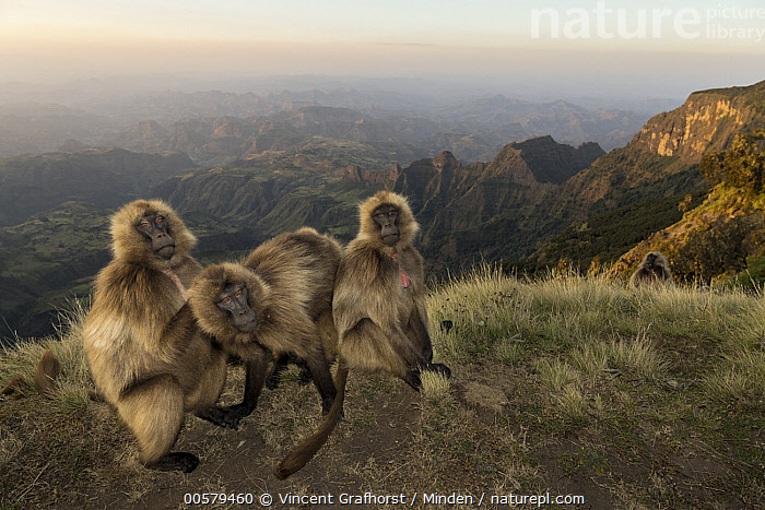 Gelada Baboon (Theropithecus gelada) females grooming on escarpment, Simien Mountain National Park, Ethiopia  ,  Adult, Animal in Habitat, Bonding, Color Image, Day, Escarpment, Ethiopia, Female, Front View, Full Length, Gelada Baboon, Grooming, High Angle View, Horizontal, Looking at Camera, Mountain, Mountain Range, Nobody, Outdoors, Photography, Side View, Simien Mountain National Park, Theropithecus gelada, Three Animals, Wildlife,Gelada Baboon,Ethiopia  ,  Vincent Grafhorst