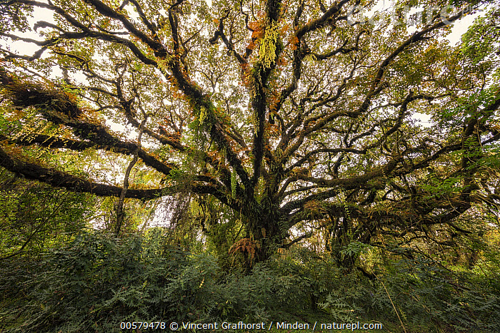 Tree with epiphytes, Harenna Forest, Bale Mountains National Park, Ethiopia  ,  Bale Mountains National Park, Color Image, Day, Epiphyte, Ethiopia, Forest, Harenna Forest, Horizontal, Interior, Landscape, Lush, Nobody, Outdoors, Photography, Tree, Tree Trunk,Ethiopia  ,  Vincent Grafhorst
