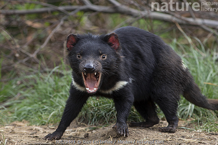 Tasmanian Devil (Sarcophilus harrisii) in defensive posture, Trowunna Wildlife Sanctuary, Tasmania, Australia  ,  Adult, Angry, Australia, Calling, Captive, Color Image, Day, Defensive Posture, Displaying, Endangered Species, Horizontal, Looking at Camera, Marsupial, Nobody, One Animal, Open Mouth, Outdoors, Photography, Sarcophilus harrisii, Side View, Tasmania, Tasmanian Devil, Three Quarter Length, Trowunna Wildlife Sanctuary, Wildlife,Tasmanian Devil,Australia  ,  Suzi Eszterhas