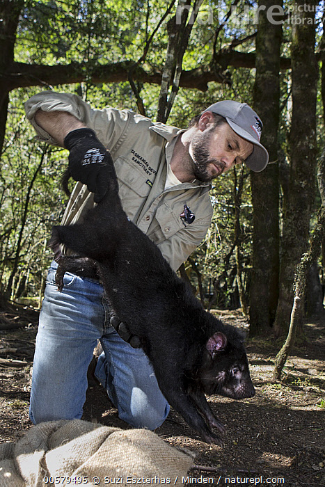 Tasmanian Devil (Sarcophilus harrisii) conservationist, Wade Anthony, holding baby devil during health check, Devils at Cradle, Cradle Mountain-Lake Saint Clair National Park, Tasmania, Australia  ,  Adult, Australia, Baby, Captive, Caucasian Appearance, Checking, Color Image, Conservation, Conservationist, Cradle Mountain-Lake Saint Clair National Park, Day, Devils at Cradle, Endangered Species, Front View, Full Length, Holding, Male, Man, Marsupial, Mid Adult, One Animal, One Person, Outdoors, Photography, Rehabilitation, Sarcophilus harrisii, Side View, Tasmania, Tasmanian Devil, Vertical, Wade Anthony, Wildlife, Young,Tasmanian Devil,Australia  ,  Suzi Eszterhas