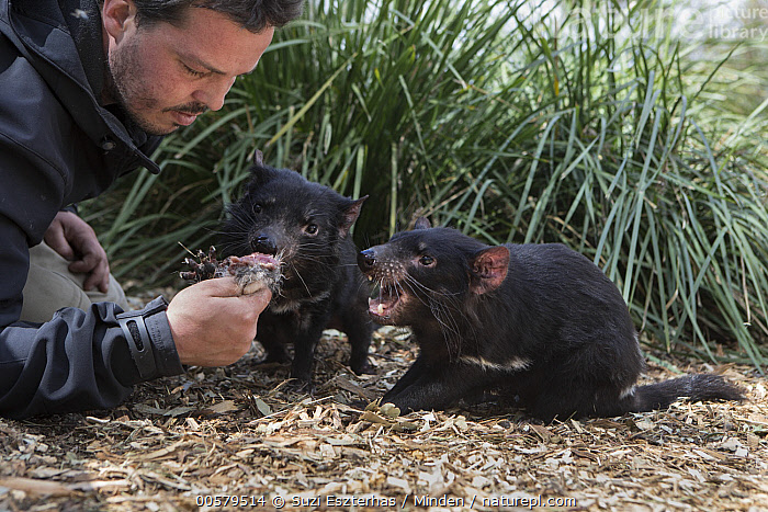 Tasmanian Devil (Sarcophilus harrisii) conservationist, Greg Irons, feeding orphaned devils, Bonorong Wildlife Sanctuary, Tasmania, Australia  ,  Adult, Australia, Bonorong Wildlife Sanctuary, Captive, Caucasian Appearance, Color Image, Conservation, Conservationist, Day, Endangered Species, Feeding, Front View, Full Length, Greg Irons, Head and Shoulders, Horizontal, Male, Man, Marsupial, Mid Adult, One Person, Orphan, Outdoors, Photography, Rehabilitation, Sarcophilus harrisii, Side View, Tasmania, Tasmanian Devil, Two Animals, Wildlife,Tasmanian Devil,Australia  ,  Suzi Eszterhas