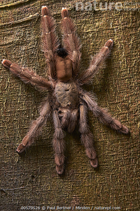 Panama Blond Tarantula (Psalmopoeus pulcher), Taironaka Lodge, Colombia, Adult, Color Image, Colombia, Day, Full Length, Nobody, One Animal, Outdoors, Panama Blond Tarantula, Photography, Psalmopoeus pulcher, Taironaka Lodge, Top View, Vertical, Wildlife,Panama Blond Tarantula,Colombia, Paul Bertner