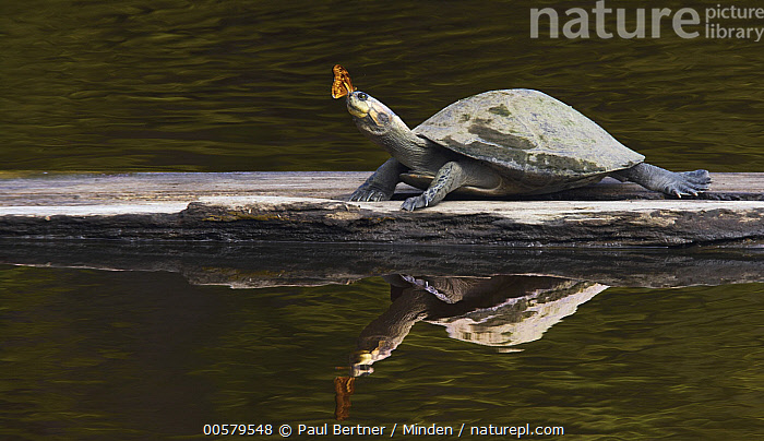 Nature Picture Library - Yellow-spotted Amazon River Turtle