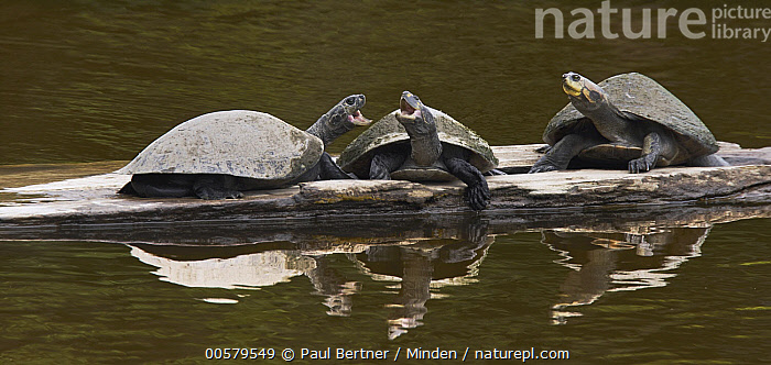 Yellow-spotted Amazon River Turtle (Podocnemis unifilis) group squabbling while basking, Sani Lodge, Ecuador  ,  Adult, Basking, Color Image, Day, Displaying, Ecuador, Facing, Front View, Full Length, Horizontal, Nobody, Open Mouth, Outdoors, Panoramic, Photography, Podocnemis unifilis, Reflection, Sani Lodge, Side View, Squabbling, Threatened Species, Three Animals, Vulnerable Species, Wildlife, Yellow-spotted Amazon River Turtle,Yellow-spotted Amazon River Turtle,Ecuador  ,  Paul Bertner