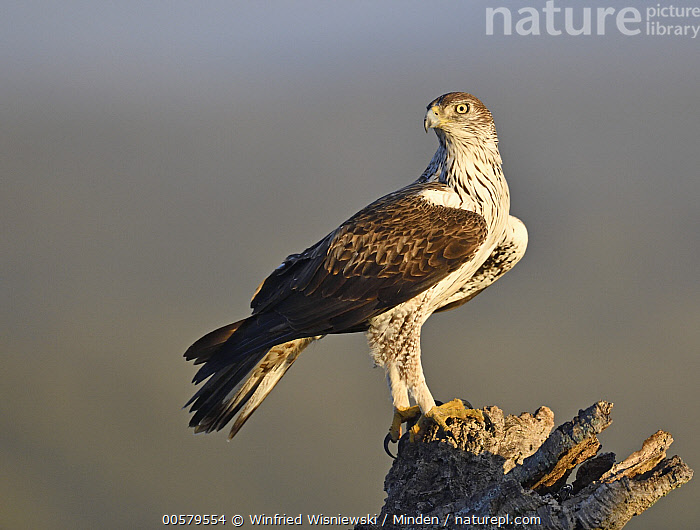 Bonelli's Eagle (Hieraaetus fasciatus), Extremadura, Spain  ,  Adult, Bonelli's Eagle, Color Image, Day, Extremadura, Full Length, Hieraaetus fasciatus, Horizontal, Nobody, One Animal, Outdoors, Photography, Raptor, Side View, Spain, Wildlife,Bonelli's Eagle,Spain  ,  Winfried Wisniewski