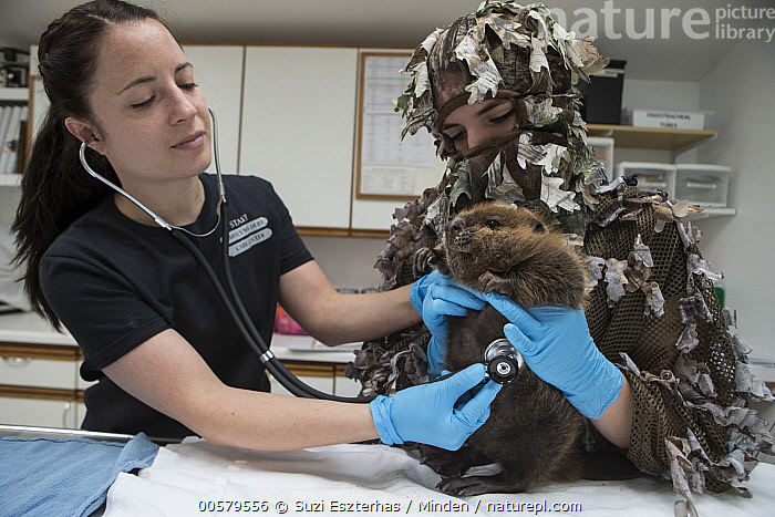 American Beaver (Castor canadensis) wildlife rehabilitators, Jessie Lazaris and Jessie Paolello, examine one-month-old orphaned kit, Sarvey Wildlife Care Center, Arlington, Washington, Adult, American Beaver, Arlington, Baby, Camouflage, Captive, Castor canadensis, Caucasian Appearance, Color Image, Conservation, Conservationist, Day, Disguise, Examining, Female, Front View, Full Length, Horizontal, Indoors, Jessie Lazaris, Jessie Paolello, Kit, One Animal, Orphan, Photography, Rehabilitation, Sarvey Wildlife Care Center, Side View, Two People, Waist Up, Washington, Wildlife, Woman, Young Adult,American Beaver,Washington, USA, Suzi Eszterhas