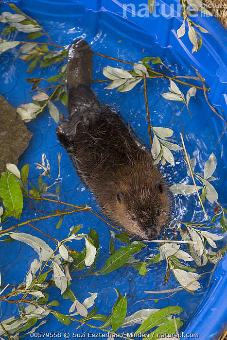 American Beaver (Castor canadensis) one-month-old orphaned kit in pool, Sarvey Wildlife Care Center, Arlington, Washington, Adult, American Beaver, Arlington, Baby, Captive, Castor canadensis, Color Image, Conservation, Day, Full Length, Kit, Nobody, One Animal, Orphan, Outdoors, Photography, Pool, Rehabilitation, Sarvey Wildlife Care Center, Top View, Vertical, Washington, Wildlife,American Beaver,Washington, USA, Suzi Eszterhas