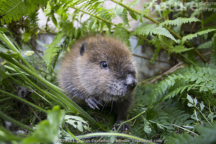 American Beaver (Castor canadensis) one-month-old orphaned kit, Sarvey Wildlife Care Center, Arlington, Washington  ,  Adult, American Beaver, Arlington, Baby, Castor canadensis, Color Image, Conservation, Cute, Day, Front View, Full Length, Horizontal, Kit, Nobody, One Animal, Orphan, Outdoors, Photography, Sarvey Wildlife Care Center, Washington, Wildlife,American Beaver,Washington, USA  ,  Suzi Eszterhas