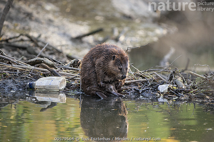American Beaver (Castor canadensis) on dam in urban creek, Martinez, California  ,  Adult, American Beaver, California, Castor canadensis, Color Image, Creek, Dam, Day, Environmental Issue, Full Length, Horizontal, Martinez, Nobody, One Animal, Outdoors, Photography, Pollution, Reflection, Side View, Trash, Urban, Wildlife,American Beaver,California, USA  ,  Suzi Eszterhas
