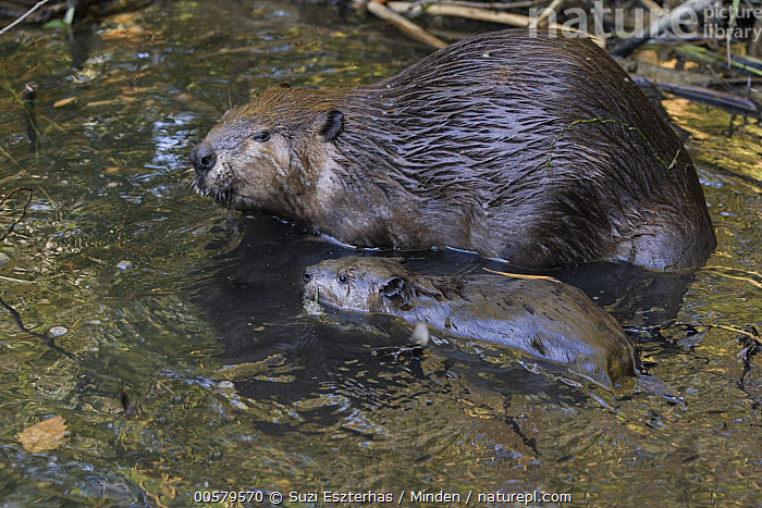 American Beaver (Castor canadensis) mother and eight-week-old kit, Martinez, California, Adult, American Beaver, Baby, California, Castor canadensis, Color Image, Day, Female, Full Length, High Angle View, Horizontal, Kit, Martinez, Mother, Nobody, Outdoors, Parent, Photography, Side View, Two Animals, Wildlife,American Beaver,California, USA, Suzi Eszterhas