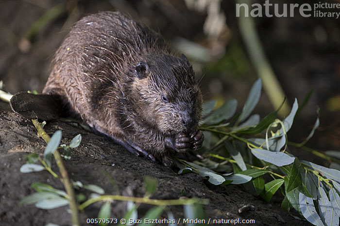 American Beaver (Castor canadensis) eight-week-old kit feeding on Willow (Salix sp) branches, Martinez, California  ,  Adult, American Beaver, Baby, California, Castor canadensis, Color Image, Day, Full Length, Horizontal, Kit, Martinez, Nobody, One Animal, Outdoors, Photography, Salix sp, Side View, Wildlife, Willow,American Beaver,Willow,Salix sp,California, USA  ,  Suzi Eszterhas