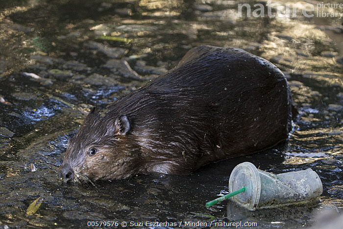 American Beaver (Castor canadensis) in urban creek with litter, Martinez, California  ,  Adult, American Beaver, California, Castor canadensis, Color Image, Creek, Day, Environmental Issue, Full Length, Horizontal, Litter, Martinez, Nobody, One Animal, Outdoors, Photography, Plastic, Pollution, Side View, Trash, Urban, Wildlife,American Beaver,California, USA  ,  Suzi Eszterhas