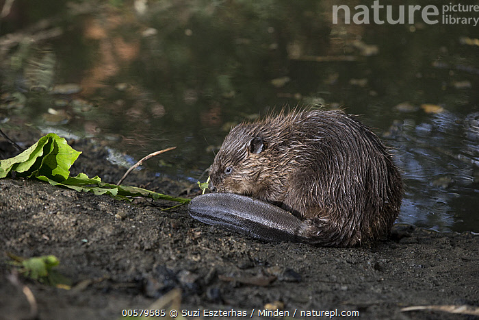 American Beaver (Castor canadensis) eight-week-old kit on dam, Martinez, California, Adult, American Beaver, Baby, California, Castor canadensis, Color Image, Dam, Day, Full Length, Horizontal, Kit, Martinez, Nobody, One Animal, Outdoors, Photography, Side View, Wildlife,American Beaver,California, USA, Suzi Eszterhas