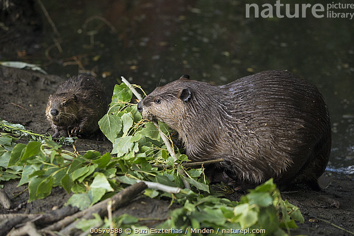 American Beaver (Castor canadensis) mother and eight-week old kit feeding on Willow (Salix sp) branches, Martinez, California  ,  Adult, American Beaver, Baby, California, Castor canadensis, Color Image, Day, Feeding, Female, Front View, Full Length, Horizontal, Kit, Martinez, Mother, Nobody, Outdoors, Parent, Photography, Salix sp, Side View, Two Animals, Wildlife, Willow,American Beaver,Willow,Salix sp,California, USA  ,  Suzi Eszterhas