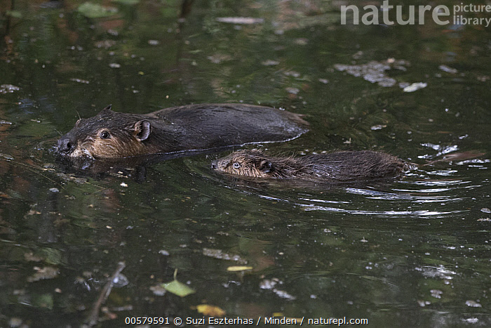 American Beaver (Castor canadensis) parent and eight-week-old kit, Martinez, California  ,  Adult, American Beaver, Baby, California, Castor canadensis, Color Image, Day, Full Length, Horizontal, Kit, Martinez, Nobody, Outdoors, Parent, Photography, Side View, Two Animals, Wildlife,American Beaver,California, USA  ,  Suzi Eszterhas