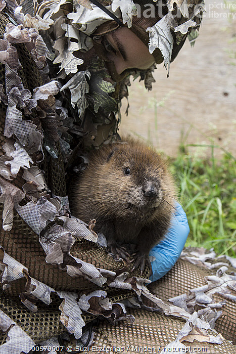American Beaver (Castor canadensis) wildlife rehabilitator, Jessie Lazaris, with one-month-old orphaned kit, Sarvey Wildlife Care Center, Arlington, Washington  ,  Adult, American Beaver, Arlington, Baby, Camouflage, Captive, Castor canadensis, Caucasian Appearance, Color Image, Conservation, Conservationist, Day, Disguise, Female, Front View, Full Length, Jessie Lazaris, Kit, One Animal, One Person, Orphan, Outdoors, Photography, Rehabilitation, Sarvey Wildlife Care Center, Side View, Vertical, Waist Up, Washington, Wildlife, Woman, Young Adult,American Beaver,Washington, USA  ,  Suzi Eszterhas