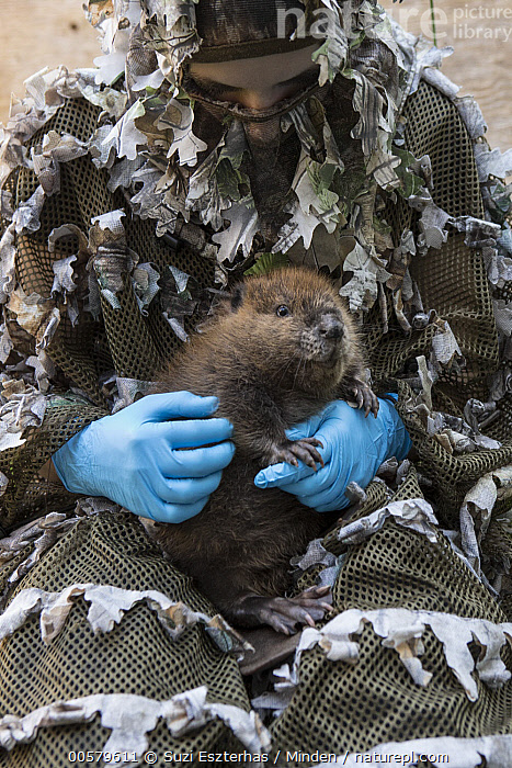 American Beaver (Castor canadensis) wildlife rehabilitator, Jessie Lazaris, with one-month-old orphaned kit, Sarvey Wildlife Care Center, Arlington, Washington, Adult, American Beaver, Arlington, Baby, Camouflage, Captive, Castor canadensis, Caucasian Appearance, Color Image, Conservation, Conservationist, Day, Disguise, Female, Front View, Full Length, Jessie Lazaris, Kit, One Animal, One Person, Orphan, Outdoors, Photography, Rehabilitation, Sarvey Wildlife Care Center, Vertical, Washington, Wildlife, Woman, Young Adult,American Beaver,Washington, USA, Suzi Eszterhas