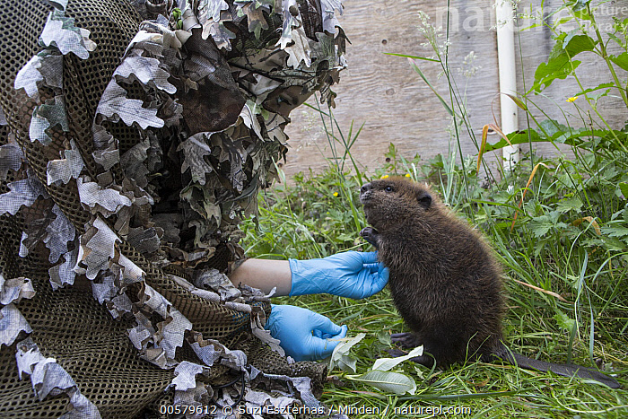 American Beaver (Castor canadensis) wildlife rehabilitator, Jessie Lazaris, with one-month-old orphaned kit, Sarvey Wildlife Care Center, Arlington, Washington  ,  Adult, American Beaver, Arlington, Baby, Camouflage, Captive, Castor canadensis, Caucasian Appearance, Color Image, Conservation, Conservationist, Cute, Day, Disguise, Female, Full Length, Horizontal, Jessie Lazaris, Kit, One Animal, One Person, Orphan, Outdoors, Photography, Rehabilitation, Sarvey Wildlife Care Center, Side View, Washington, Wildlife, Woman, Young Adult,American Beaver,Washington, USA  ,  Suzi Eszterhas