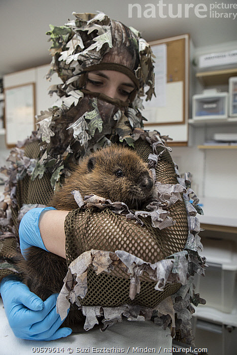 American Beaver (Castor canadensis) wildlife rehabilitator, Jessie Lazaris, holding one-month-old orphaned kit, Sarvey Wildlife Care Center, Arlington, Washington, Adult, American Beaver, Arlington, Baby, Camouflage, Captive, Carrying, Castor canadensis, Caucasian Appearance, Color Image, Conservation, Conservationist, Day, Disguise, Female, Front View, Full Length, Holding, Indoors, Jessie Lazaris, Kit, One Animal, One Person, Orphan, Photography, Rehabilitation, Sarvey Wildlife Care Center, Vertical, Waist Up, Washington, Wildlife, Woman, Young Adult,American Beaver,Washington, USA, Suzi Eszterhas