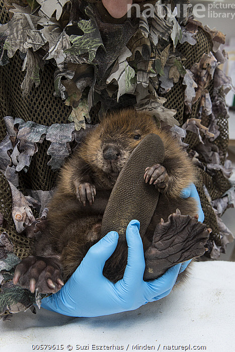 American Beaver (Castor canadensis) wildlife rehabilitator, Jessie Lazaris, weighing one-month-old orphaned kit, Sarvey Wildlife Care Center, Arlington, Washington, Adult, American Beaver, Arlington, Baby, Camouflage, Captive, Castor canadensis, Caucasian Appearance, Color Image, Conservation, Conservationist, Cute, Day, Disguise, Female, Front View, Full Length, Indoors, Jessie Lazaris, Kit, One Animal, One Person, Orphan, Photography, Rehabilitation, Sarvey Wildlife Care Center, Vertical, Washington, Weighing, Wildlife, Woman, Young Adult,American Beaver,Washington, USA, Suzi Eszterhas